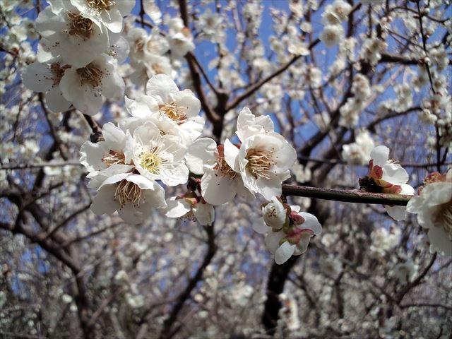 花曇りの筑波山  日帰り登山 風やわらかな3月に春うららかな梅まつり(2015.3.21)