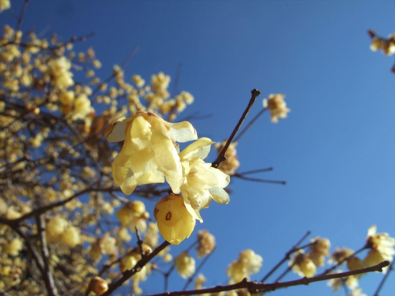 宝登山 蝋梅の甘い香りと狼神社