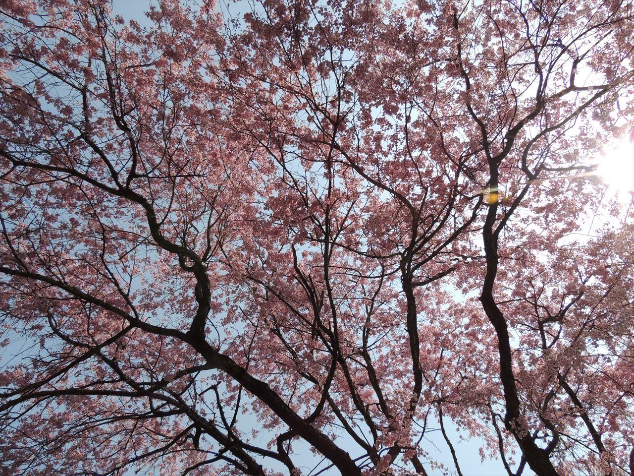 美の山 登山(親鼻~和銅黒谷) 満開のしだれ桜!!(2016.4.16)