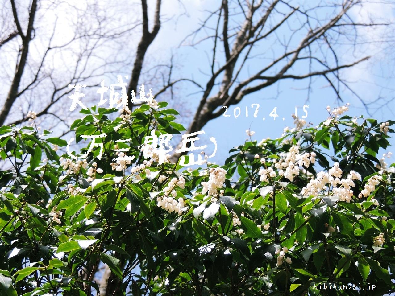 天城山 登山(万二郎岳〜万三郎岳) 満開のアセビと桜くらくら燃える峰(2017.4.15)