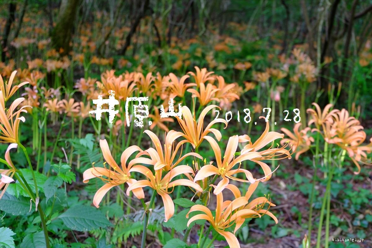 オオキツネノカミソリ満開の井原山(キトク橋) 登山 猛烈な暑さに燃えるオレンジの花は福岡の宝の峰