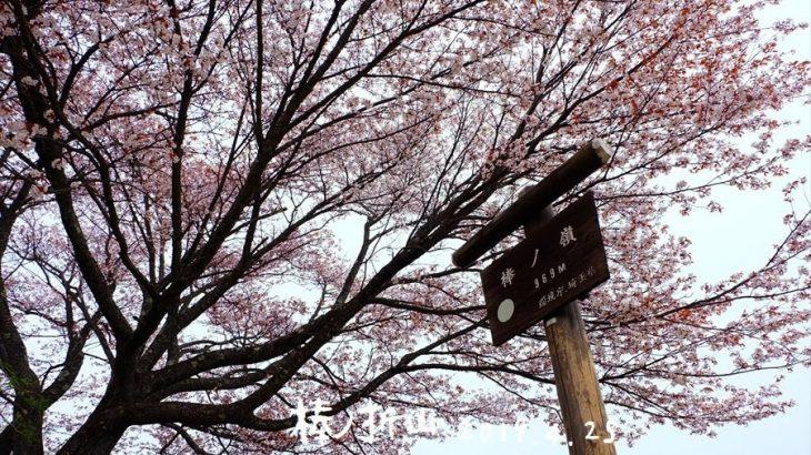 棒ノ折山(棒ノ嶺) 登山 山頂の一本桜と新緑眩しい白谷沢のゴルジュの峰