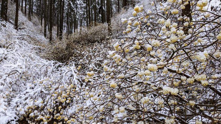 焼森山 ほふく前進で進め!無限ミツマタと雪景色とほくほくおにぎりの花見散歩