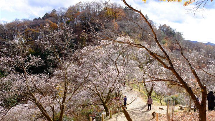 桜山 花見登山 冬桜のエルドラド!藤岡市の低山は紅葉と冬桜と満月が照らす峰