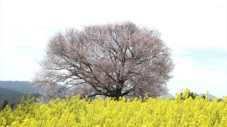 【花見】馬場の山桜 佐賀県の一本桜を紹介するぜ!中年オヤジに足りない物を探せ!