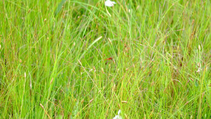 【雑記】樫原湿原 やっと見っけ!ハッチョウトンボ ピンボケだけど感激